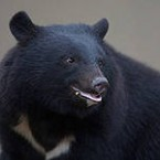 гималайский медведь на праздник