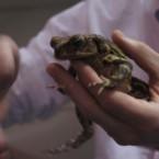 карибская лягушка