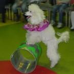 шоу с собачками