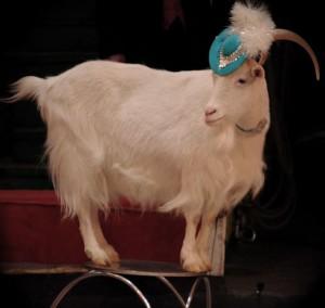 цирк коз