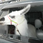 Лама едет на работу
