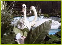 8 (985) 920 - 36- 97. Лебеди на свадьбу