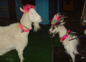8 (985) 920 - 36- 97. Как встречать год козы