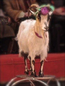 8 (985) 920 - 36- 97. Цирк коз