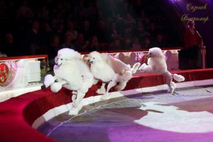 Цирковые Пудели