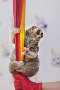 lemur-lori